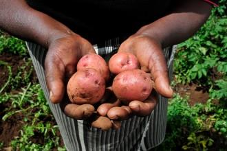 Potatoes_from_a_Kenyan_farm